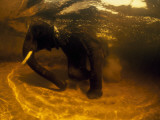 An Underwater View of an African Elelphant in a Watering Hole Photographic Print by David Doubilet