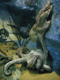 Octopuses Mate in a Tank Modeled after their Natural Habitat Photographic Print by Robert Sisson