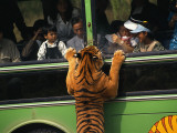 A Tiger, Intrigued by Tourists in a Bus, Peers Through a Bus Window Fotografisk tryk af Paul Chesley