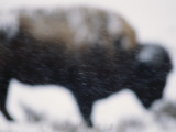 An American Bison Braves a Blizzard in Yellowstone Park Photographic Print by Annie Griffiths