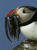 A Puffin Returns with a Beak Full of Sand Lances for its Chick Photographic Print by Frans Lanting