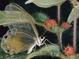 Close-Up of a Butterfly of the Callitaera Genus on a Melastomad Plant Photographic Print by Paul Zahl