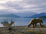 A Grizzly Ambles Past the Weathered Antlers of a Moose on the Shore Photographic Print by Joel Sartore