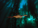 A Weedy Sea Dragon Paddles Through Emerald Jungles of Giant Kelp Fotografisk tryk af David Doubilet