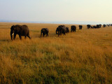 African Elephants March Through Savanna Grass Photographic Print by Michael Nichols