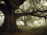Ancient Trees Dwarf Visitors to Historic Great Birnam Wood Photographic Print by Dean Conger