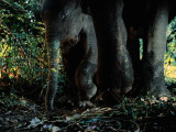 A Young Indian Elephant Protected by the Legs of an Adult Photographic Print by Michael Nichols