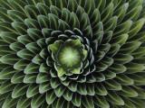A Giant Lobelia Plant, Lobelia Telekii Photographic Print by George F. Mobley
