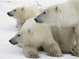 A Portrait of a Polar Bear Mother and Her Cubs, Ursus Maritimus Fotografisk tryk af Norbert Rosing