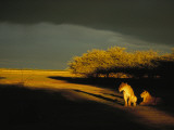 Two African Lionesses Resting in Late Afternoon Light Photographic Print by Beverly Joubert