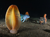 Sea Pens and a Blue Cod Appear in Shallow Waters in Long Sound Photographic Print by Brian J. Skerry