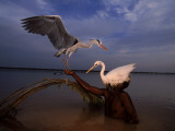 A Bird Hunter Wearing a Heron Decoy in the Indus River Photographic Print by Randy Olson