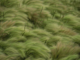Foxtail Barley and Western Wheatgrass Stirred by a Breeze Photographic Print by Annie Griffiths