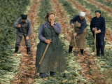 East German Women Harvesting Sugar Beets Photographic Print by Gordon Gahan