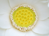 A White Lotus in its Early Stage of Blooming Photographic Print by Stephanie Lane