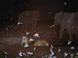 Lions, Doves, and Elephants Share a Dwindling Water Hole Photographic Print by Beverly Joubert