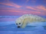 A Whitecoat Harp Seal Rests on Ice under a Colorful Twilight Sky Fotografisk tryk af Brian J. Skerry