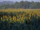 Field of Sorghum Grown for Wildlife Habitat Photographic Print by Raymond Gehman