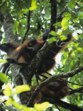 Portrait of an Orangutan with Her Two Offspring in a Tree Photographic Print by Tim Laman