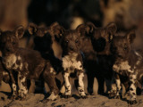 A Litter of African Wild Dogs Photographic Print by Chris Johns