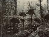 Family Walking Through a Forest of Tree Ferns Photographic Print by Nicholas Caire