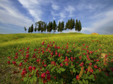 Cypress Trees Above a Field with Red and Yellow Wildflowers Photographic Print by Raul Touzon