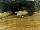 A Bounding Zebra's Striped Hide Tempts Tanzanian Poachers Photographic Print by Emory Kristof