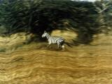 A Bounding Zebra's Striped Hide Tempts Tanzanian Poachers Photographic Print by Emory Kristof