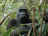 A Once Capitve Gorilla Is Now Flourishing One of Gabon's New Parks Photographic Print by Michael Nichols
