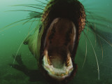 A Young Steller's Sea Lion with its Mouth Wide Open Photographic Print by Paul Nicklen