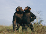 A Pair of Orphan Chimpanzees at the Tchimpounga Sanctuary Photographic Print by Michael Nichols