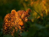 A Leopard, Panthera Pardus, in Tall Grasses at Twilight Photographic Print by Beverly Joubert