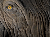 Genuine Skin, But a Glass Eye, on a Museum Elephant Model Photographic Print by John Burcham