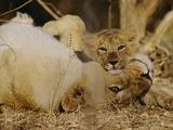 Asian Lions, Panthera Leo Persica, Mother and Cub Fotografisk tryk af Mattias Klum