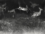 Deer Leap in Earliest Nighttime Flash Photography Shot Photographic Print by George Shiras