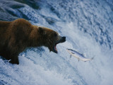 A Grizzly Bear Opens Wide for a Mouth Full of Salmon Photographic Print by Joel Sartore