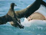 A Shark Threatens a Fledgling Albatross Photographic Print by Bill Curtsinger