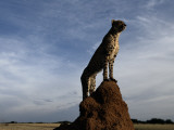 An African Cheetah Guards its Territory from Atop a Termite Mound Photographic Print by Chris Johns