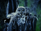 A Great Gray Owl Stays Close to Her Owlet Photographic Print by Michael S. Quinton