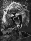 A Male Lion Roars over His Mate Photographic Print by Dick Wolff