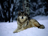 A Captive Grey Wolf, Canis Lupus, in the Snow Photographic Print by Joel Sartore