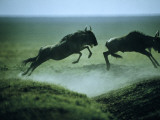 Bounding Wildebeests Cross Plains in Search of Fresh Grass Photographic Print by Bruce Dale