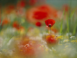 Poppies and Wildflowers in the Desert Land of Petra Photographic Print by Annie Griffiths