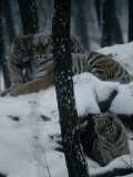 Captive Siberian Tiger, Panthera Tigris Altaica, with Cubs Photographic Print by Michael Nichols