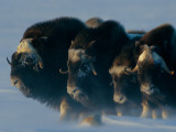 Musk-Oxen, Ovibos Moschatus, Huddle in a Protective Formation Fotografisk tryk af Norbert Rosing