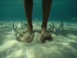 Adult Palometa Fish Dog the Steps of a Visitor to St John Photographic Print by David Doubilet