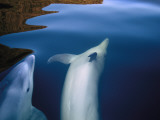 Two Bottlenose Dolphins, Tursiops Truncatus, Frolic in Doubtful Sound Photographic Print by Annie Griffiths