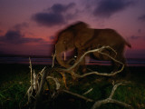 Forest Elephant, Loxodonta Africana Cyclotis, Walking Along a Beach Photographic Print by Michael Nichols