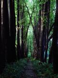 Linden Trees Line Leo Tolstoy's Favorite Path at Yasnaya Polyana Fotografisk tryk af Sam Abell