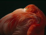 A Greater Flamingo with its Head in its Feathers While at Rest Photographic Print by Tim Laman